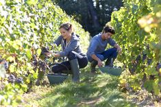 Best Ways To Find Farm Jobs In Australia. Let's explore few best ways to find farm jobs in Australia with the experts of Plantgrowpick Working Holiday Visa, Working Holidays, Harvest Day, Harvest Season, Farmer Quotes, Farm Lifestyle, Famous Wines, St Emilion, Green Grapes