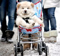 Puppy in Stroller.. lol So sweet it made me want to get my little fido in a stroller.. with an umbrella :)