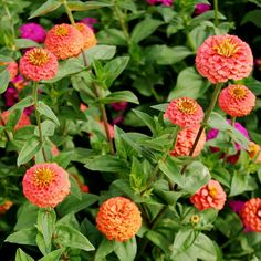 Zinnia - Lilliput SalmonLilliput Zinnias, also known as Mini Pompon Zinnias, are known for their petite, round blooms in a variety of dynamic colors. This selection of Zinnias features a unique shade on a classic favorite!