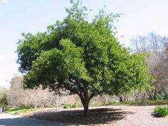 Carrotwood (Cupaniopsis  anacardioides)