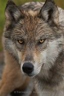 Mangelsen's photograph: Eyes of the Wolf