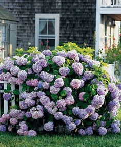 This reminds me of the hydrangea bush at my old house....one of the reasons I considered buying it....just felt like home