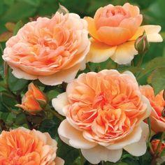 Rosales Ingleses Fragantes por colores