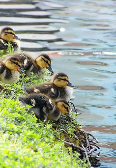 """Ducklings: """"About to test the water..."""""""