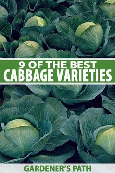 Cabbage is a versatile, nutritious addition to your veggie garden, learn about the different varieties from robust reds to crinkly Savoys on Gardener's Path Types Of Cabbage, Organic Gardening, Gardening Tips, Vegetable Gardening, Kitchen Gardening, Veggie Gardens, Indoor Gardening, Container Gardening