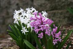 Conrad Art Glass & Gardens  hyacinths