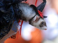 Costumed Ferrets - Ferret Daily