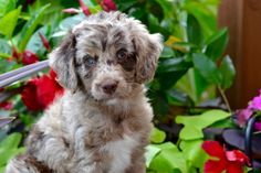 AussieDoodle puppies are all we do! We breed the smartest, most affectionate, healthy AussieDoodles. Every AussieDoodle puppy is tested before going home.