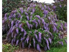 Summer lilac 'Wisteria Lane®', 1 plant The Effective Pictures We Offer You About Garden Types A qual Garden Shrubs, Landscaping Plants, Garden Plants, Rustic Landscaping, Landscaping Edging, Garden Types, Buddleja Davidii, Yucca, Landscaping