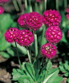 Amazon.com : Primula denticulata Cashmeriana Ruby 30 Seeds : Patio, Lawn & Garden