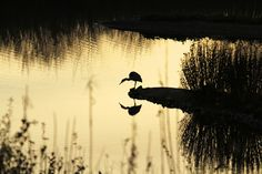 Reflections     Grey Heron Silhouette by Maggie Bucknall, via Flickr