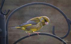Finchley - Finchley (green finch)
