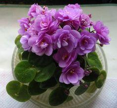 fokföldi2 Saintpaulia, House Plants, Rose, Garden, African Violet, Pretty, Blog, Stuff Stuff, Flowers
