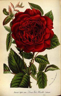 Rosa hybr. cv. Louis Van Houtte  Houtte, L. van, Flore des serres et des jardin de l'Europe, vol. 19: t. 0 (1845)