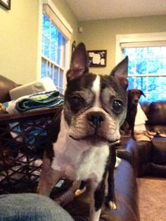 Hi my name is Harry and I'm a 12-year-old Boston terrier. It saddens me that I was a faithful companion for 12 years until my owner Sue got sick and recently passed away. I am very affectionate loveable, and love to snuggle. I am potty trained, no need for a crate, not a big fan I promise not to chew anything!