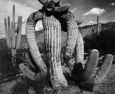 Cactus, por Ansel Adams