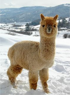 0be95909d 130 Best Alpaca images