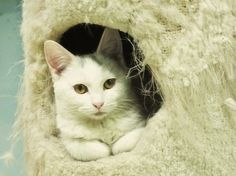 WV...Our tiny SNOWFLAKE is an adorable young kitten looking for a loving home.  She gets along great with other cats and dogs , and loves to play with toys !Please contact the BROOKE COUNTY ANIMAL SHELTER @ 304-394-0800 and ask for Donna DeJaro , the...