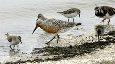 Migrating red knot first bird declared threatened by climate change
