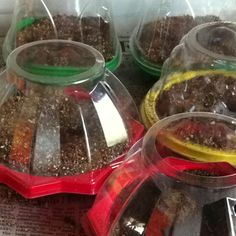 Miniature greenhouses for starting seedlings up cycled from cherry tomato containers