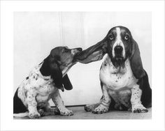 how could you NOT love a basset hound?! the little one reminds me of my Rosie.... naughty. lol