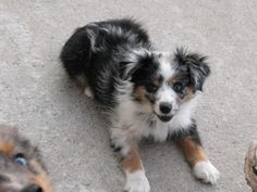 miniature australian shepherd | excellent ratings from ALL of the judges.