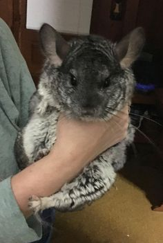 My big girl Athena #aww #cute #chinchilla #chinnies #chinchillasofpinterest #cuddle #fluffy #animals #pets #bestfriend #boopthesnoot #itssofluffy #rodents