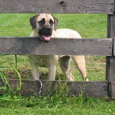 Amerikansk mastiff raseinfo - Hunderaser.net