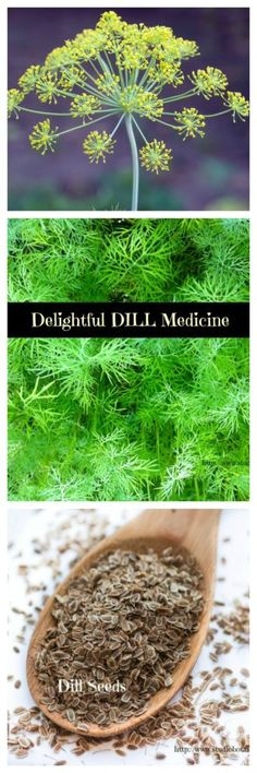 Delightful Dill Medicine benefits + recipes - Studio Botanica