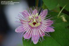 Passiflora foetida var hirsuta