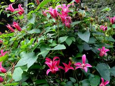 I simply must have this! (Princess Diana Clematis)