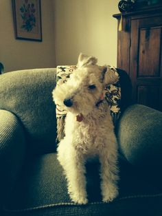 Winnie the Wire Fox Terrier