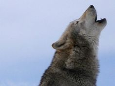 What is your guardian animal? I got wolf. I frickin new it!!! I love wolves. and my spirit animal is a cat...