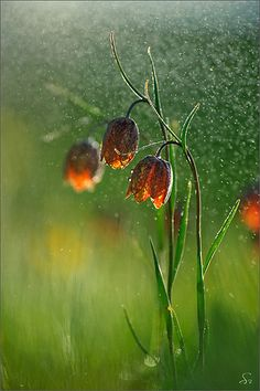 #chocolate #lilies in the #rain / #photo #raining #falling #drops #flowers