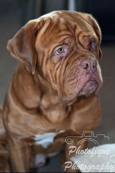 French Mastiff #dog #portrait