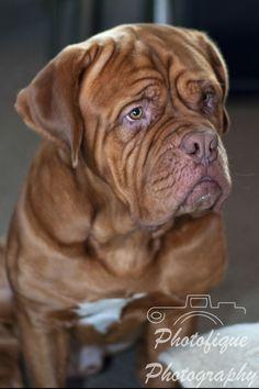 French Mastiff #dog #portrait
