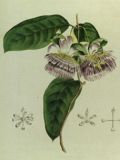 Water Lemon, Golden Apple - Passiflora laurifolia - Fragrant purple and white flowers with bell shaped calyx - circa 1793
