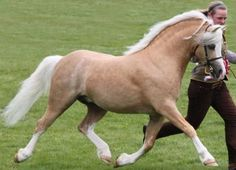 Palomino Welsh Mountain stallion Ceulan Calon Lan. Welsh Mountain is oldest of the Welsh sections and other sections originate from it. Its ancestor have lived in Wales for more than thousand years but there have been some oriental influence.