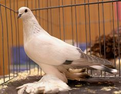 Champion Ice Pigeon