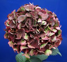 Hydrangea Magical® Ruby Red – Plants Nouveau