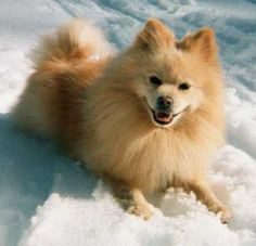 American Eskimo and Pomeranian Mix