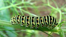 Vlindernet: Familiekenmerken rupsen : rups van de koninginnenpage (Papilio machaon) Foto: Irene de Graaff