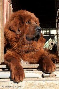 Tibetan Mastiff if you want one please rescue one from Tibetan Mastiff Rescue, Inc. it's a non-profit organization!!