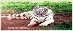 White Tiger at Nandankan Zoo. Bhubaneswar Odisha
