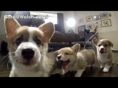 Slow-mo Corgi pups