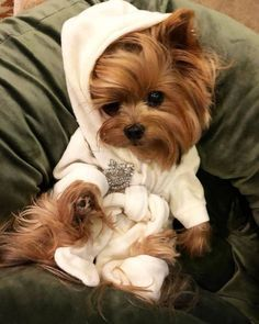 All About The Affectionate Yorkshire Terrier Puppies Health Super Cute Puppies, Baby Animals Super Cute, Cute Baby Dogs, Cute Little Puppies, Cute Dogs And Puppies, Cute Little Animals, Cute Funny Animals, Tiny Puppies, Corgi Puppies