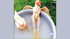Galinha Vira Celebridade em Foto Relax  A foto de uma galinha em uma bacia com água em pose de relaxamento, como se fosse um ser humano, fez o animal virar celebridade nas redes sociais! http://amabijouxmega.blogspot.com.br/2015/09/galinha-vira-celebridade-em-foto-relax.html #GalinhaRelax #Foto #Imagem #Celebridade #Curiosa #Engracada #Zen