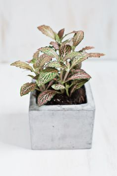 Fittonia albivenis. Nerve plant. Fitonia /// Non toxic to cats and dogs.