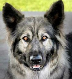 Nadine is an American Alsatian, a breed that has been selected to have some traits of the extinct dire wolf (Canis dirus).