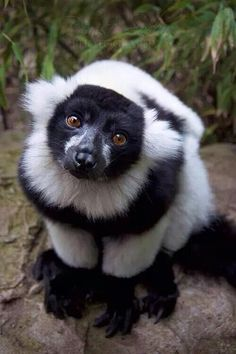 Black and White Ruffed Lemur….so cute I love them Black and White Ruffed Lemur…. Nature Animals, Animals And Pets, Baby Animals, Funny Animals, Cute Animals, Animals Planet, Wild Animals, Animals Tumblr, Primates